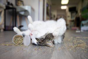 Is Catnip a Cat Drug?